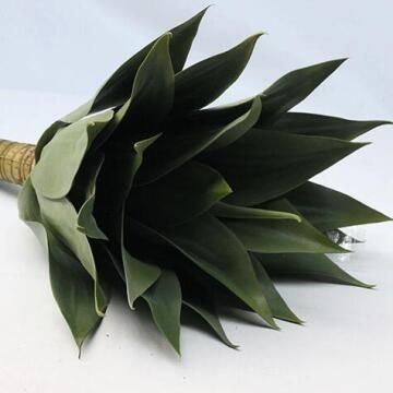 AGAVE PLANT MED 50CM
