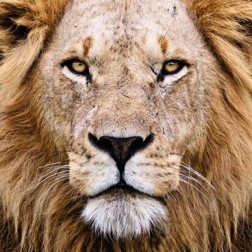 CANVAS LION 30X30CM